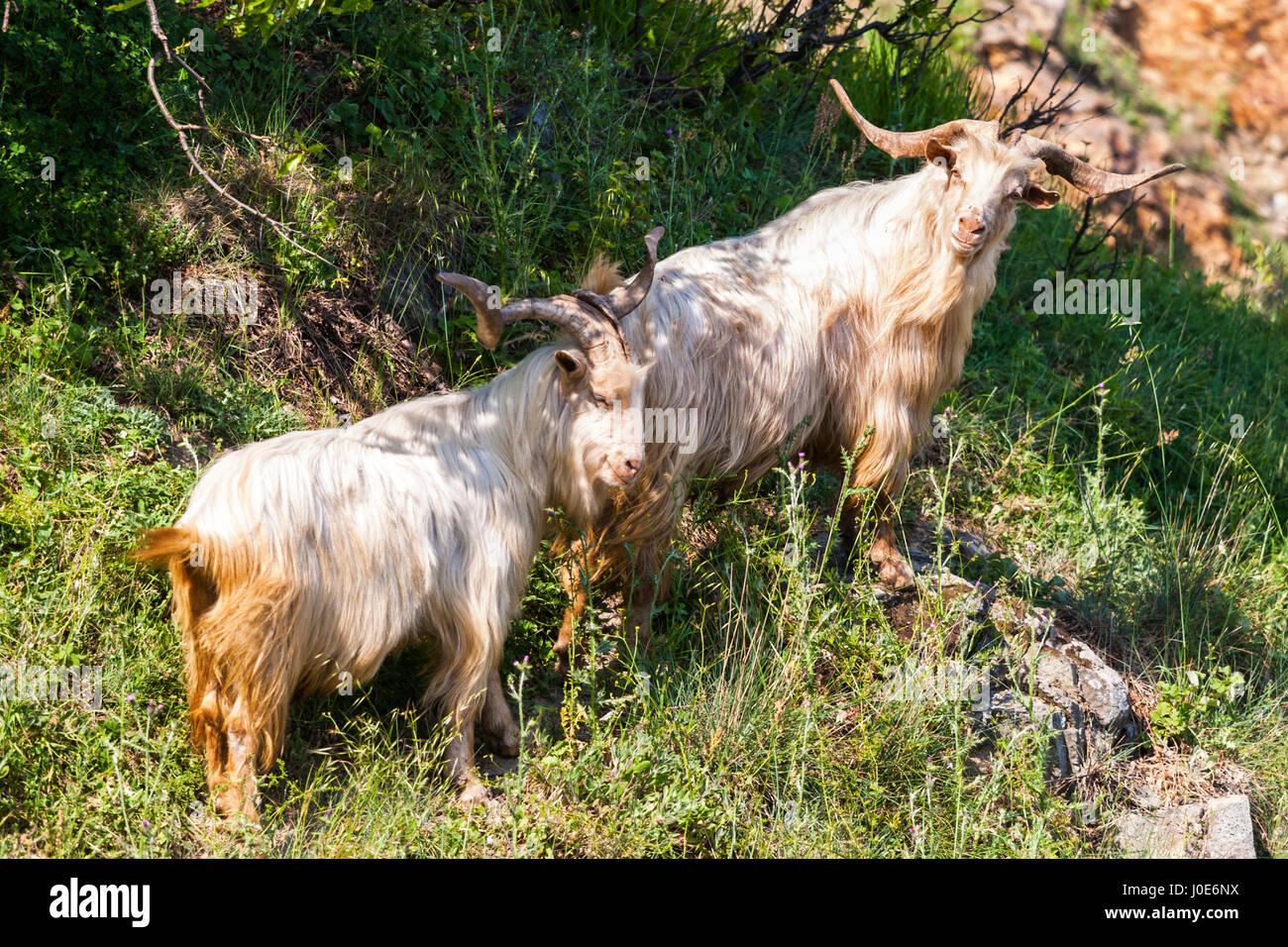 Klettergerüst Ziegen : Kletternde ziegen stockfotos & bilder alamy