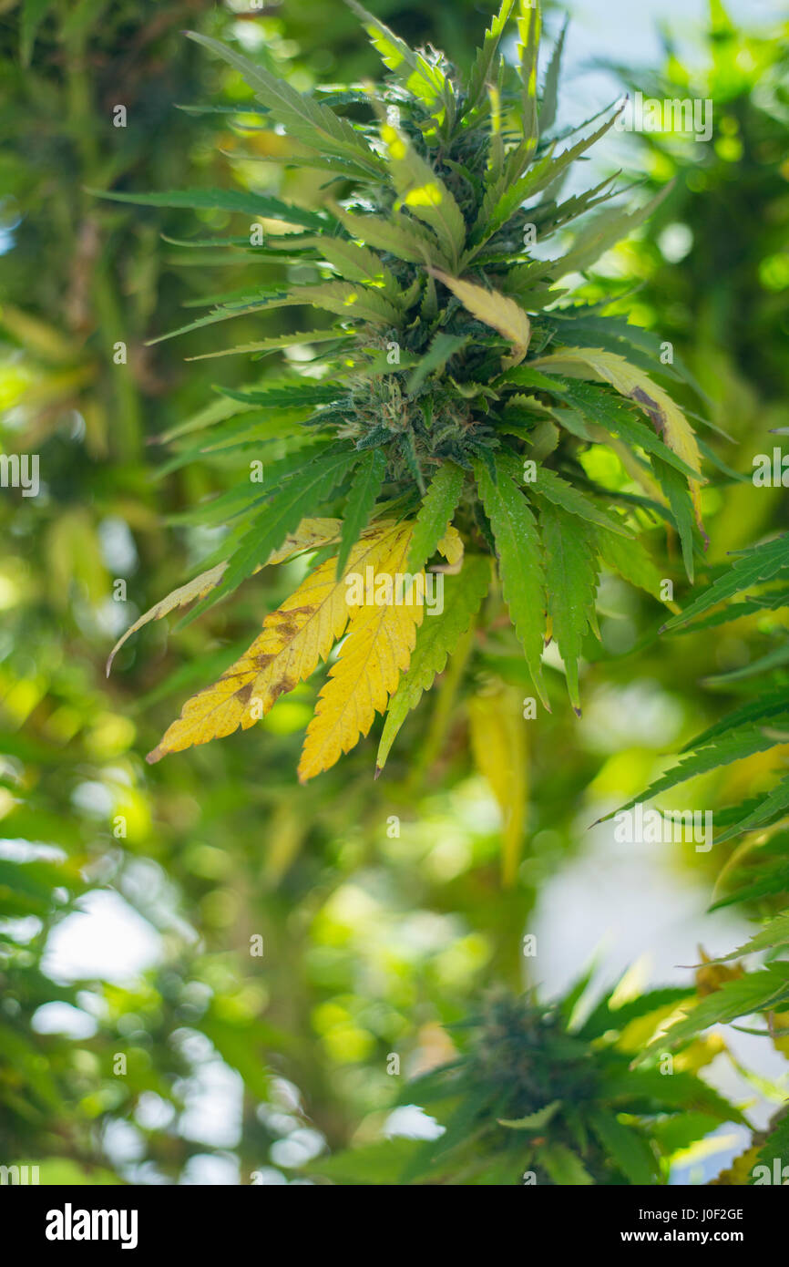 cannabis farm stockfotos cannabis farm bilder alamy. Black Bedroom Furniture Sets. Home Design Ideas