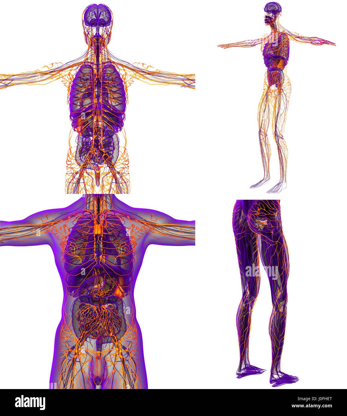 Schön Anatomie Und Physiologie Des Lymphsystems Pdf Galerie ...