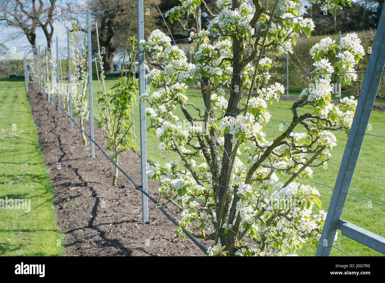 espaliered tree stockfotos espaliered tree bilder alamy. Black Bedroom Furniture Sets. Home Design Ideas