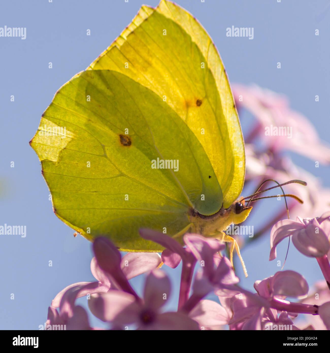 Makroaufnahme eines gelben Schmetterling getrübt. Stockbild