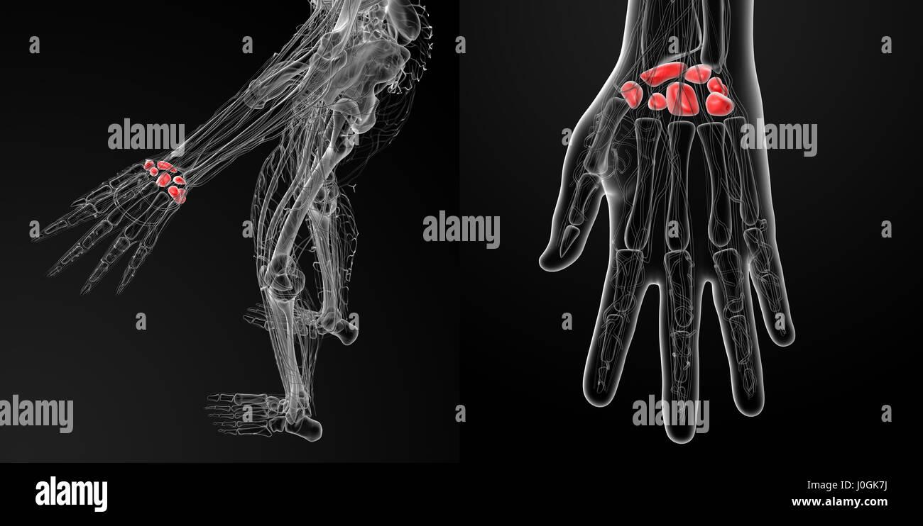 3D Rendering-Darstellung der menschlichen Handwurzelknochen ...