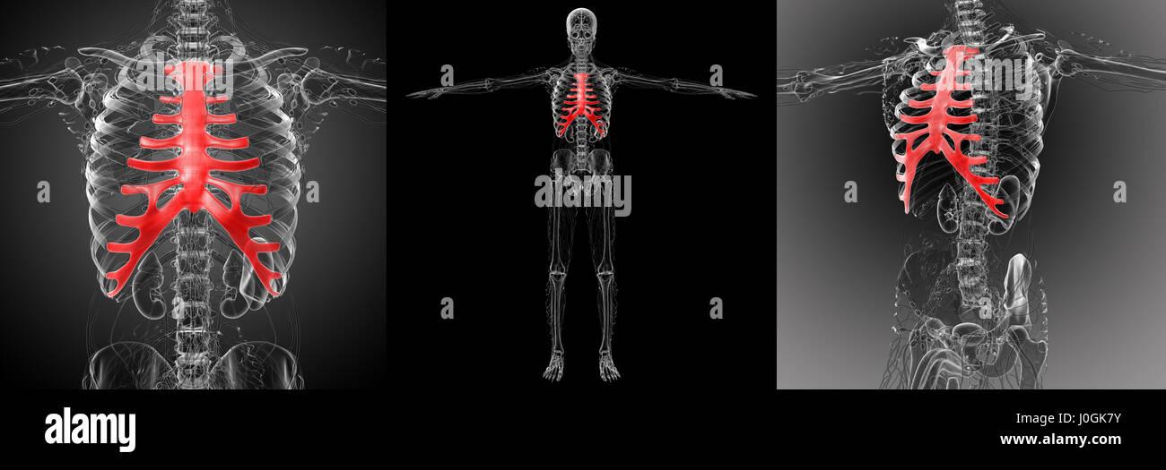 Groß Brustbeins Anatomie Fotos - Menschliche Anatomie Bilder ...