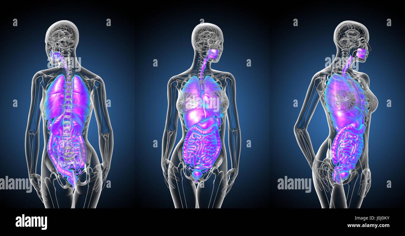 Berühmt Magen System Anatomie Fotos - Menschliche Anatomie Bilder ...