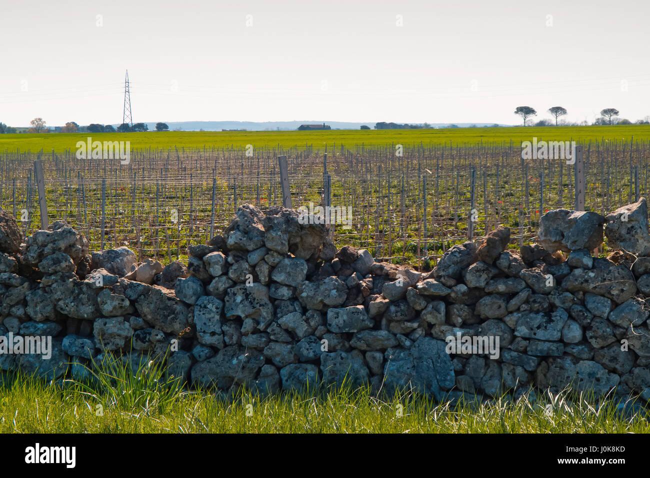 Weinberg im Frühjahr Apulien Klima wächst. Stockbild
