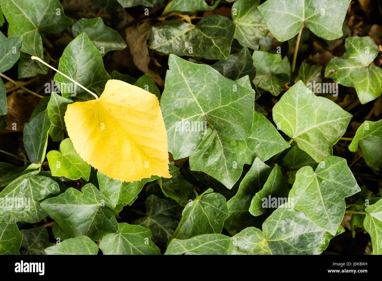 Ein einziges gelbes Blatt auf einem Deck aus grünen Blättern Stockbild