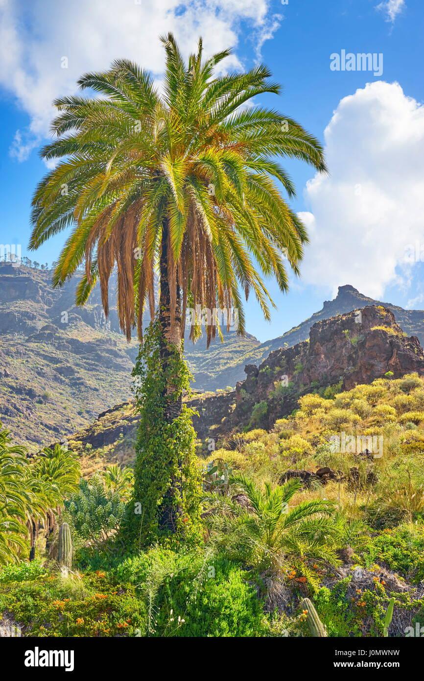 Kanarischer Landschaft mit einsamen Palme, Gran Canaria, Kanarische Inseln, Spanien Stockbild