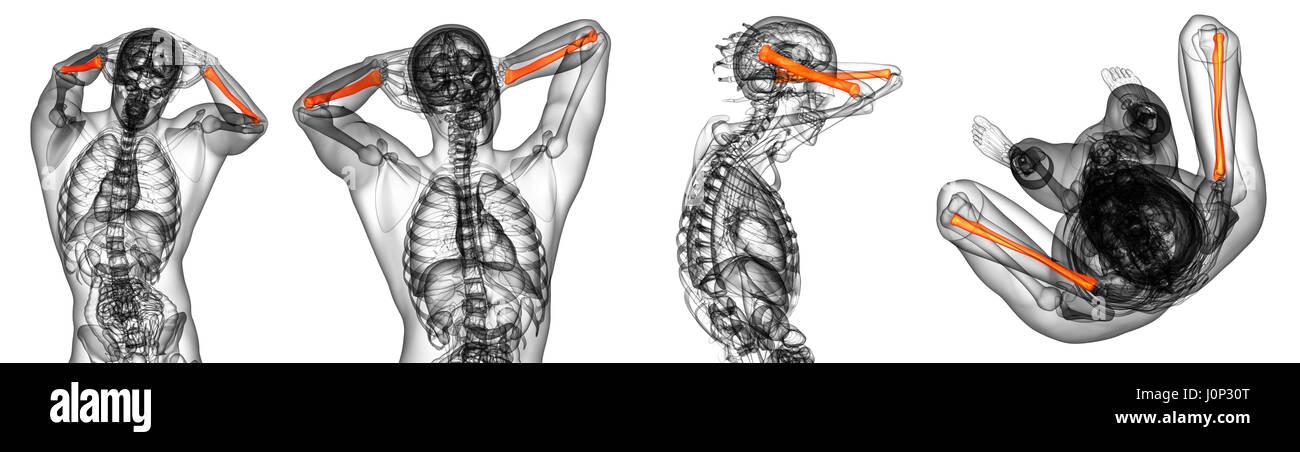 Charmant Anatomie Des Schulterblatte Knochen Ideen - Anatomie Ideen ...