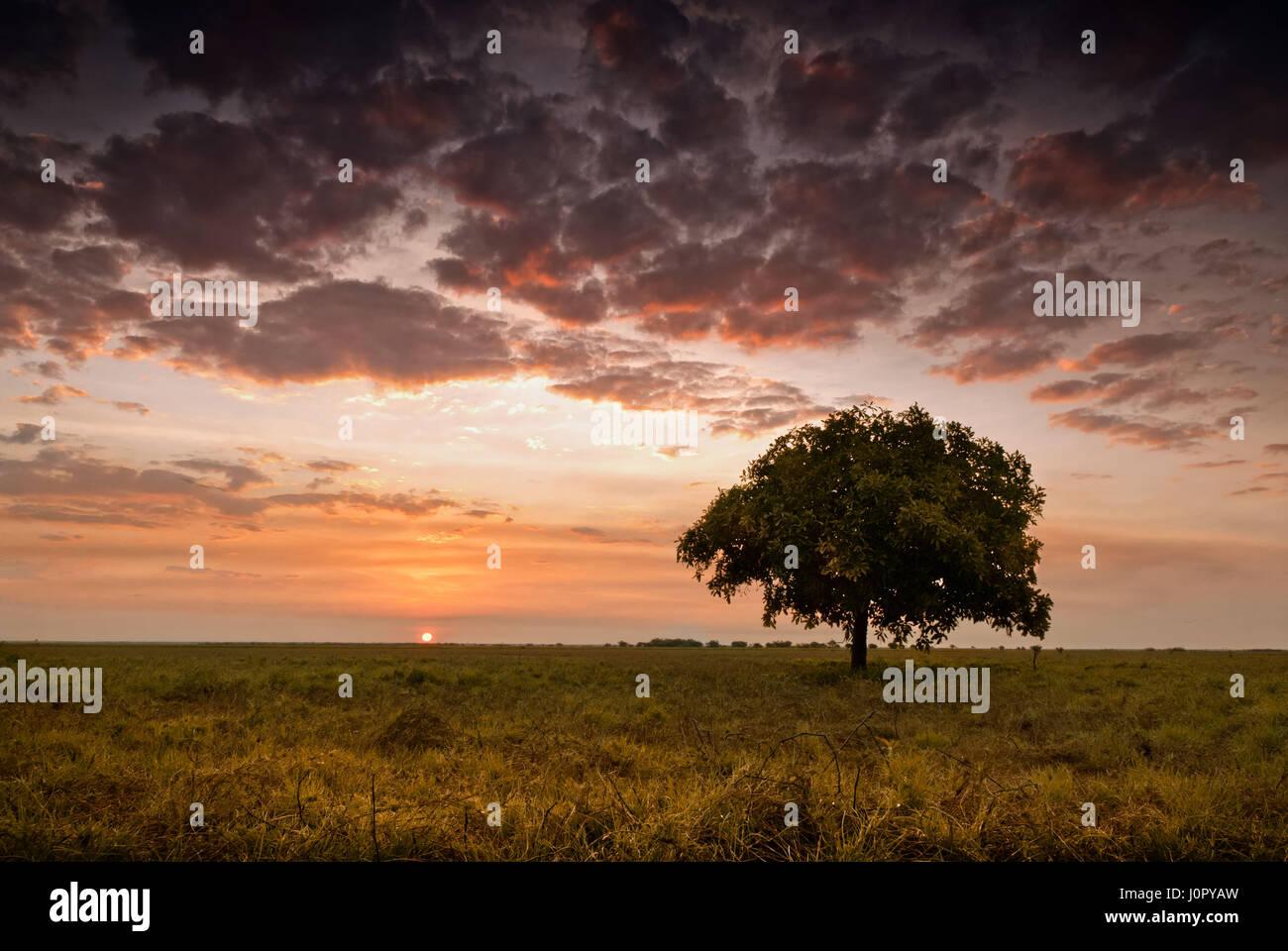 Einzigen Baum unter glühenden Himmel in der Abenddämmerung mit Sonne den Horizont berührt. Northern Territory, Australien Stockfoto