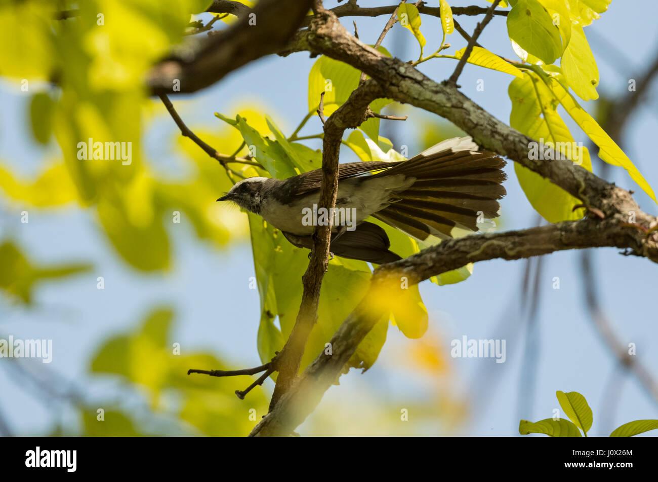 Weißer-browed Fantail (Rhipidura Aureola), Kambodscha Stockbild