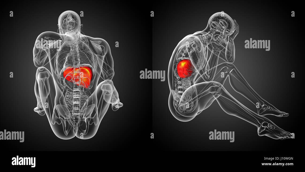 Liver And Stomach Stockfotos & Liver And Stomach Bilder - Seite 13 ...