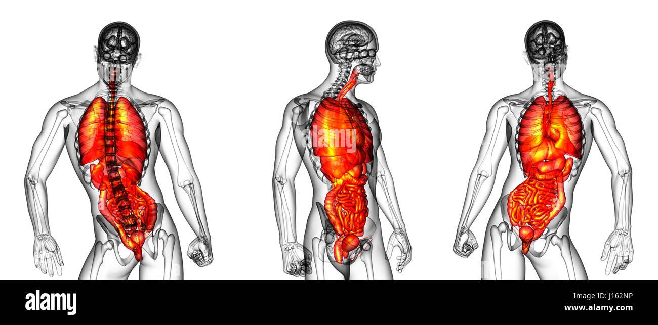 Atemberaubend Menschlicher Körper Atmungssystem Galerie ...