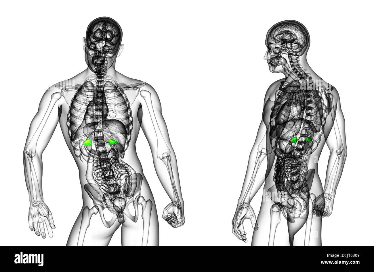 Groß Nebennieren Bilder - Anatomie Und Physiologie Knochen Bilder ...
