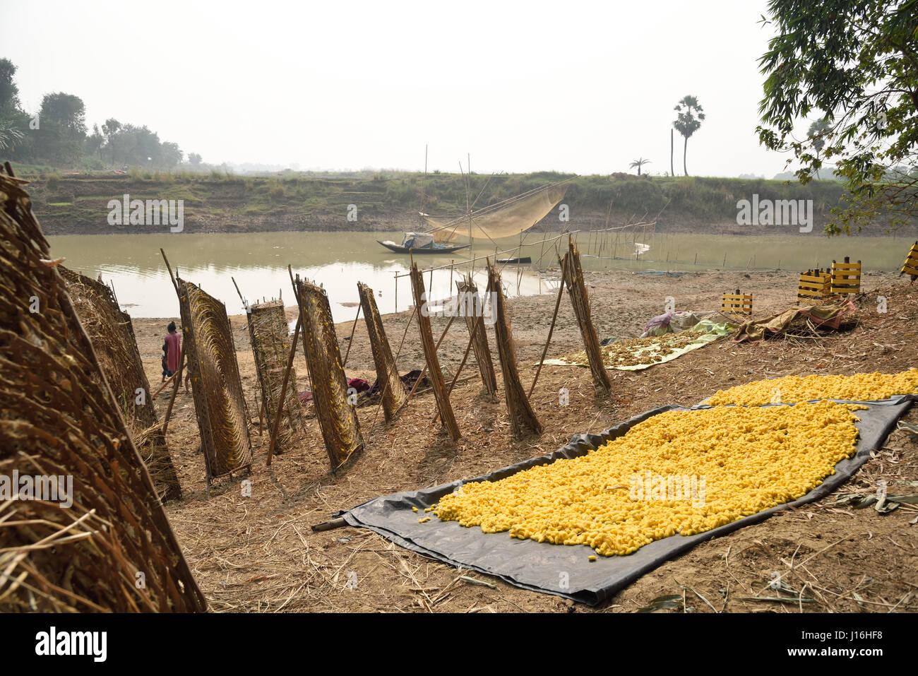Seidenraupen-Kokons in traditionellen kreisförmigen Bambusrahmen bei der Herstellung von Seide in einem indischen Stockbild