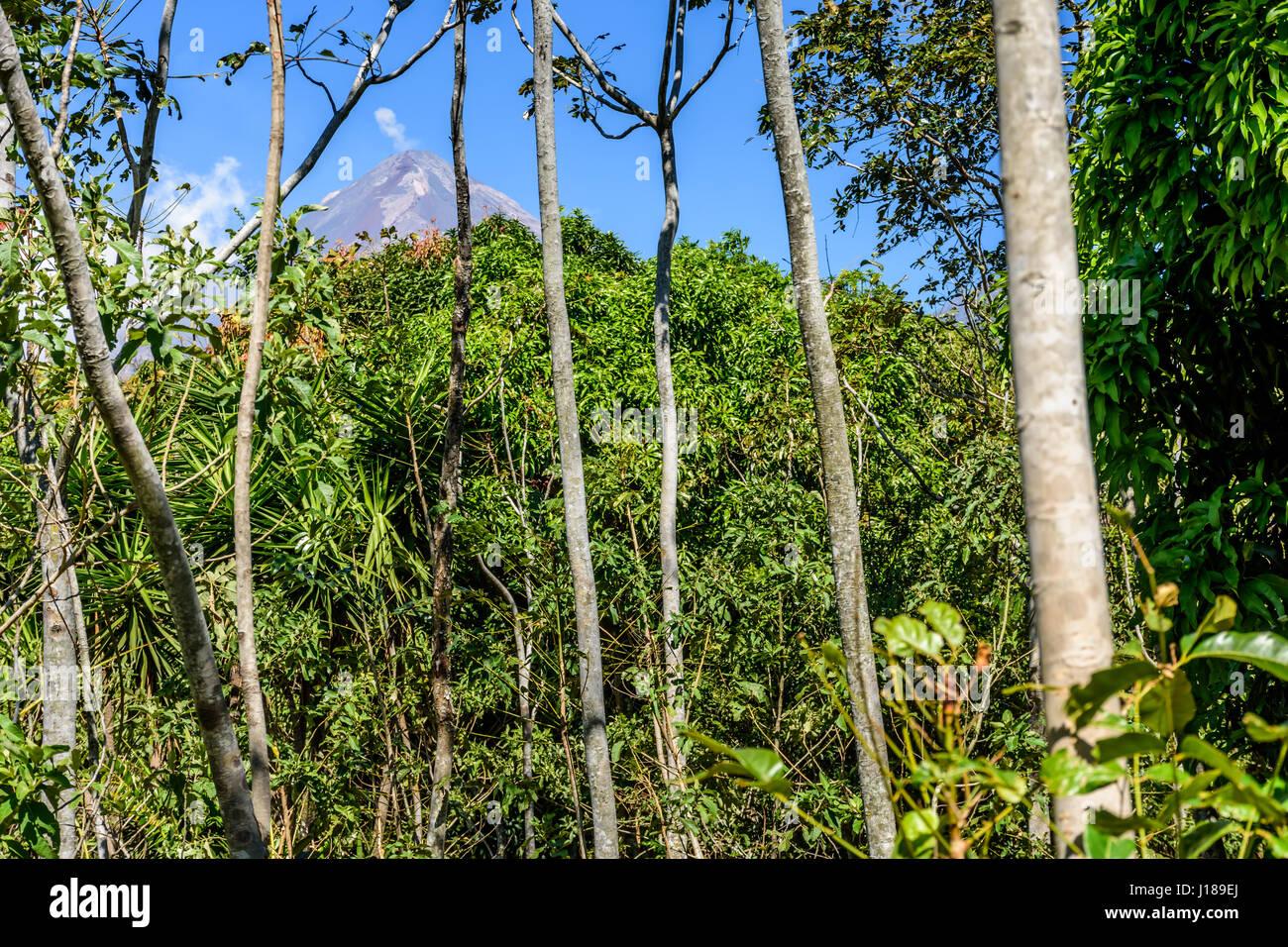 Mahagonibäume  Woodland & Mahagoni Bäume mit Rauch puffing vom aktiven pacaya ...