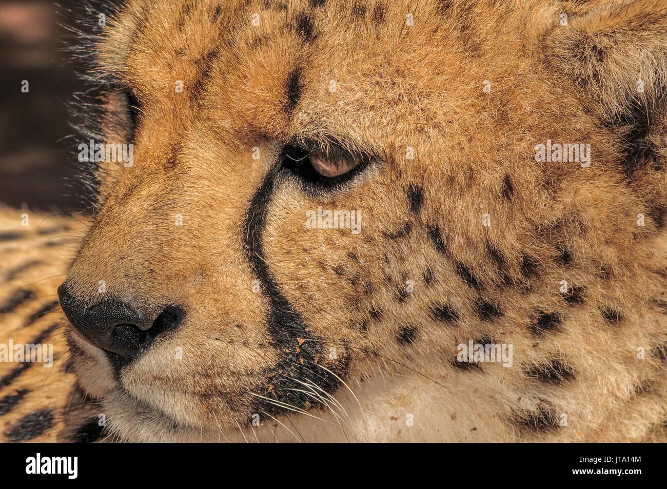 Gepard, Südafrika Stockbild