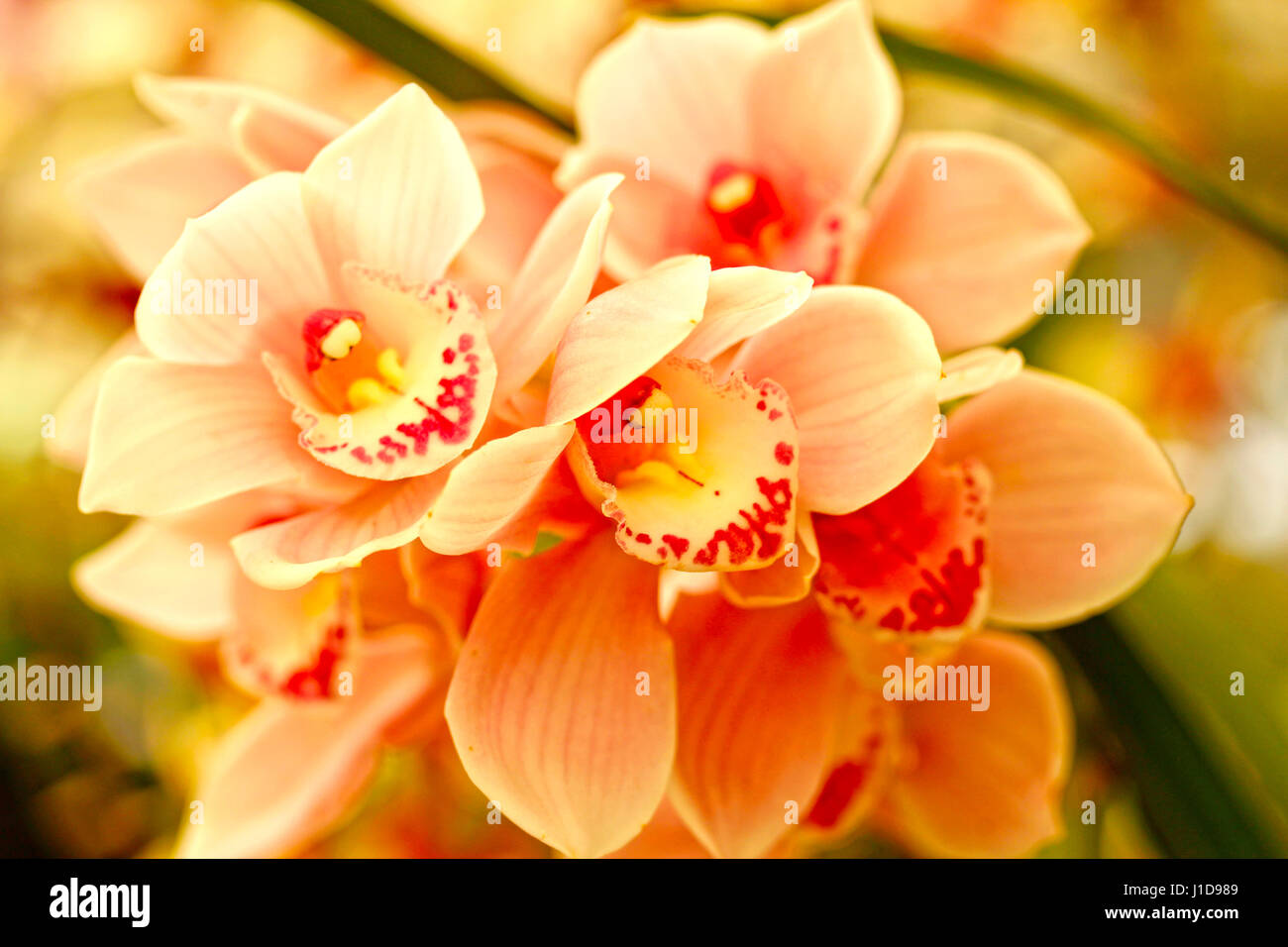 cymbidium orchids stockfotos cymbidium orchids bilder alamy. Black Bedroom Furniture Sets. Home Design Ideas