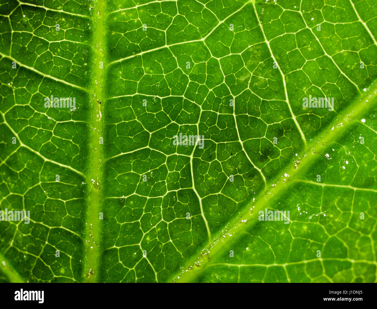 fatsia japonica leaf stockfotos fatsia japonica leaf bilder alamy. Black Bedroom Furniture Sets. Home Design Ideas