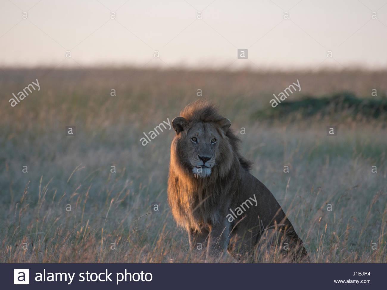 Sonnendurchflutetes männlicher Löwe, Panthera Leo, sitzen in den Trockenrasen. Stockbild