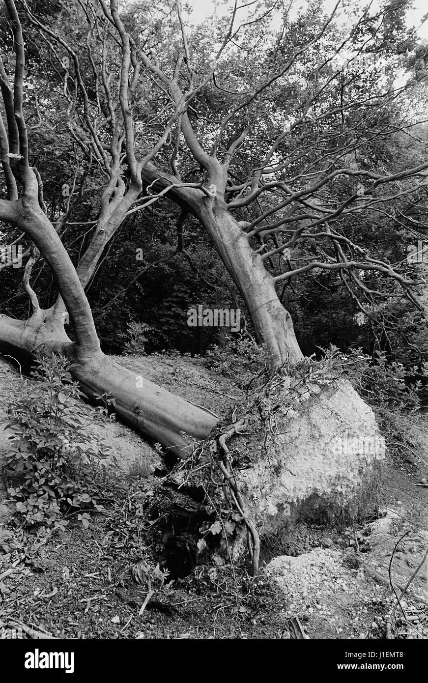 Umstürzenden Baum nach dem Sturm von 1987, auf den North Downs in der Nähe von Ashford, Kent, England Stockbild