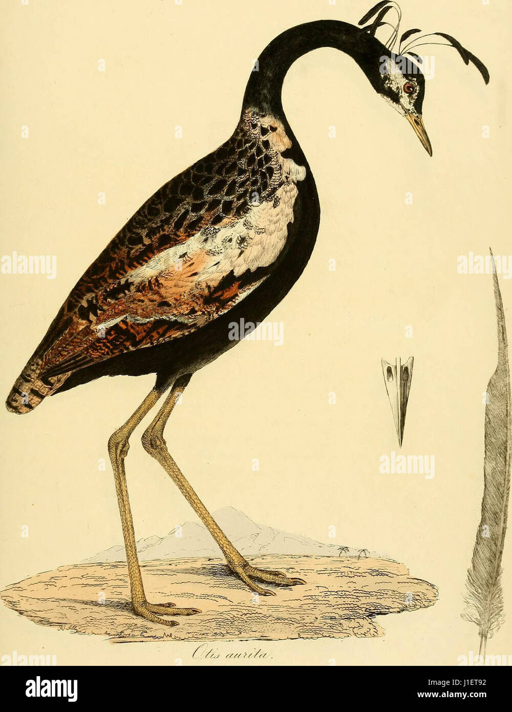 """""""Abbildungen der Ornithologie"""" (1826) Stockbild"""