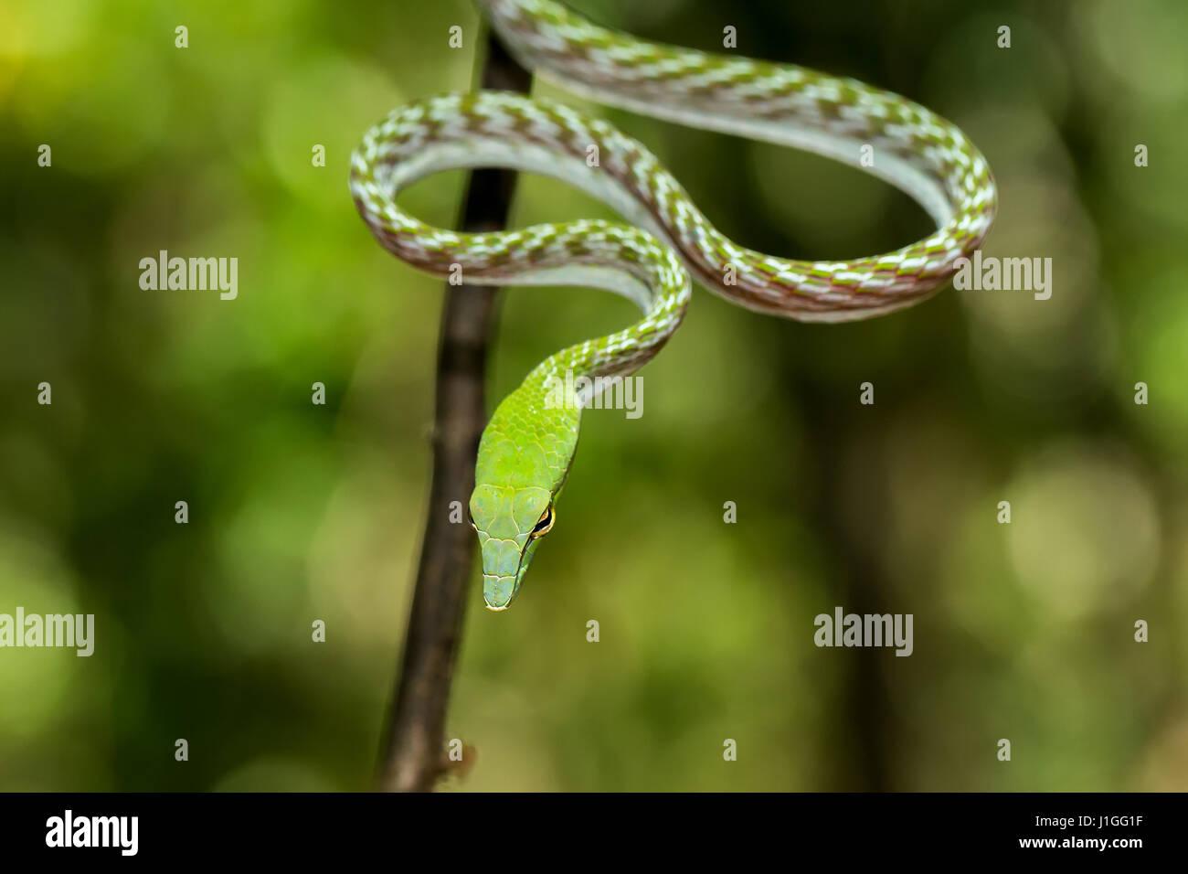 Oriental Whipsnake, asiatische Rebe grüne Schlange (Ahaetulla Prasina) Tangkoko Naturreservat in Nord-Sulawesi, Indonesien wildlife Stockfoto