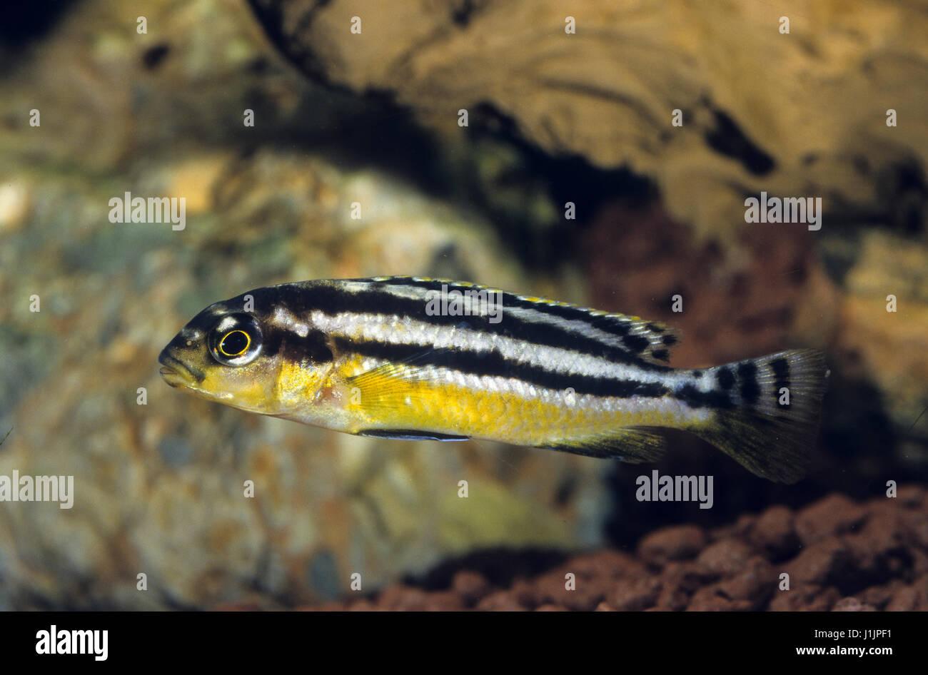 Buntbarsche stockfotos buntbarsche bilder alamy for Zierfische barsch