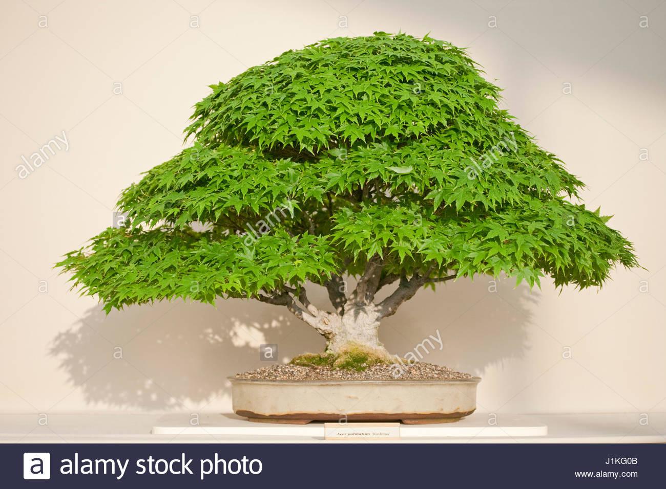 bonsai zwerg ahorn acer palmatum kashima stockfoto bild 138727243 alamy. Black Bedroom Furniture Sets. Home Design Ideas