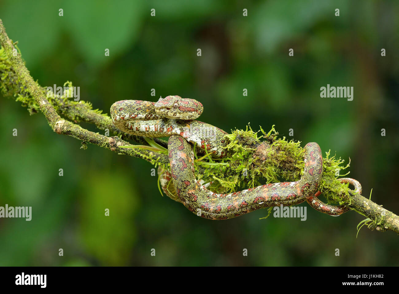 Wimpern Palm Pitviper in Costa Rica-tropischer Regenwald Stockbild
