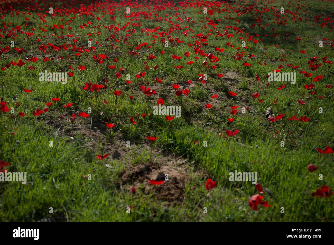 israel spring flower red poppy stockfotos israel spring. Black Bedroom Furniture Sets. Home Design Ideas