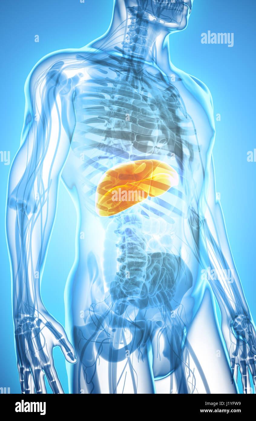 Liver Digestive Abdomen Stockfotos & Liver Digestive Abdomen Bilder ...
