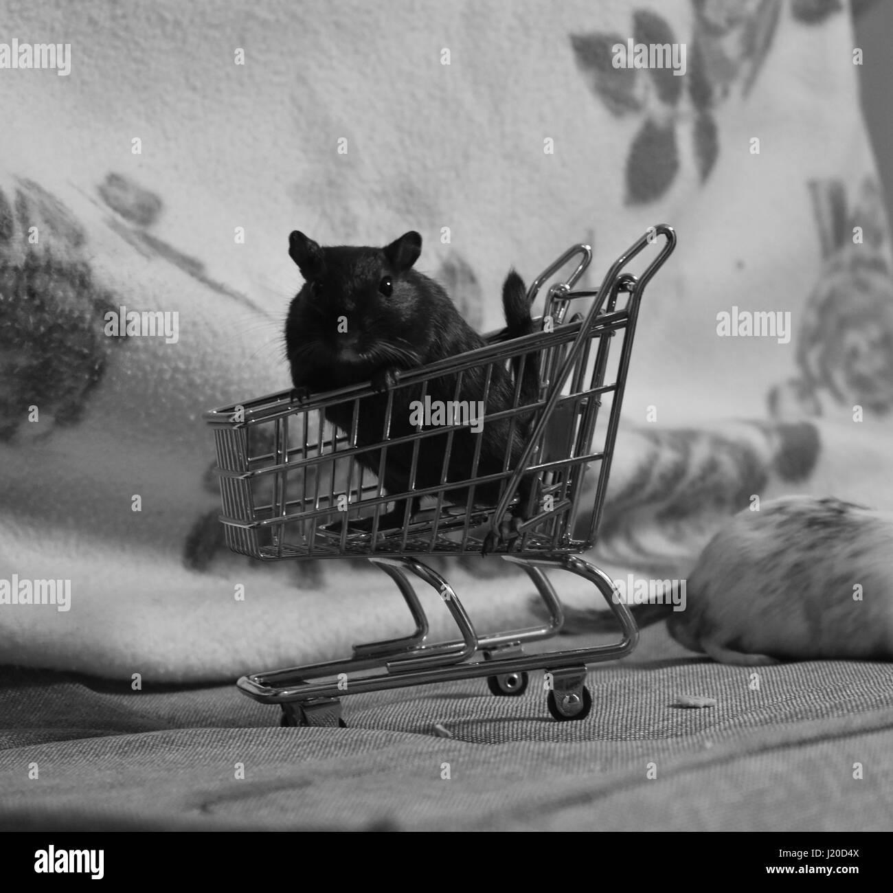 Schwarze Rennmaus sitzt in der Miniatur-Einkaufswagen Stockbild