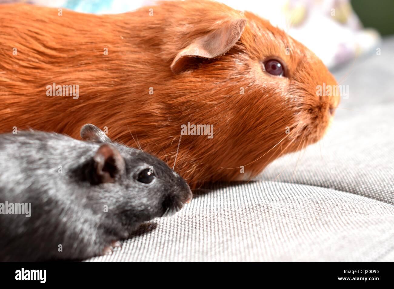 Ginger Haustier Meerschweinchen mit einer schwarzen Wüstenrennmaus Stockbild