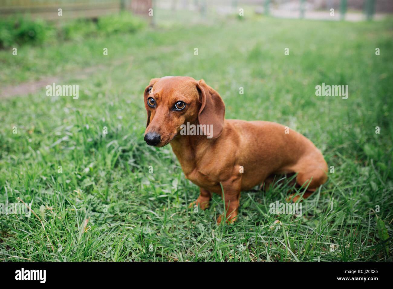 Dackel Hund Im Freien Wunderschöne Dackel Stehend Auf Dem Grünen