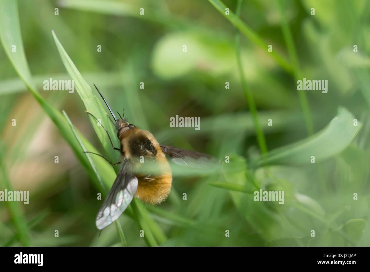 Große Biene Fliege (Bombylius großen) ruht auf einem Blatt. Selektiven Fokus Stockbild
