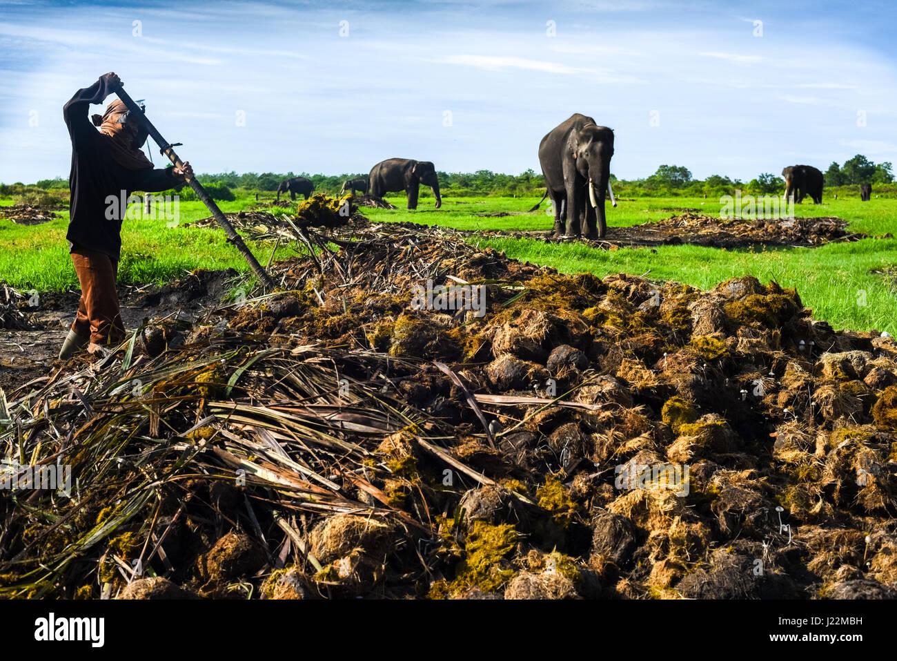 Ein Arbeiter aufräumen Elefantendung im Weg Missions-Nationalpark, Sumatra, Indonesien. © Reynold Sumayku Stockbild