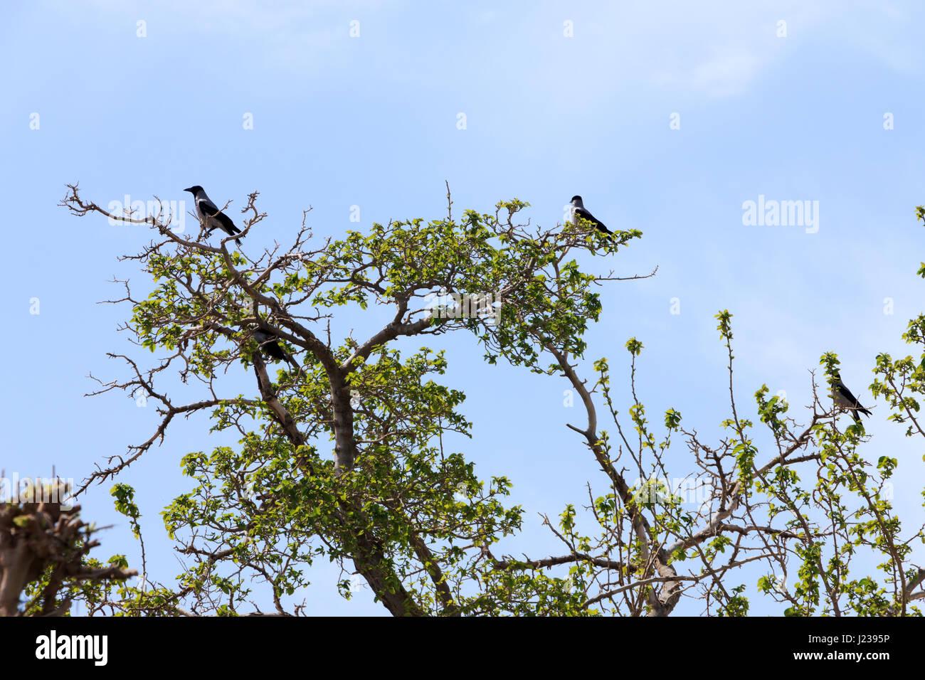 Eine Herde von Krähen thront auf der Spitze eines Baumes Stockbild