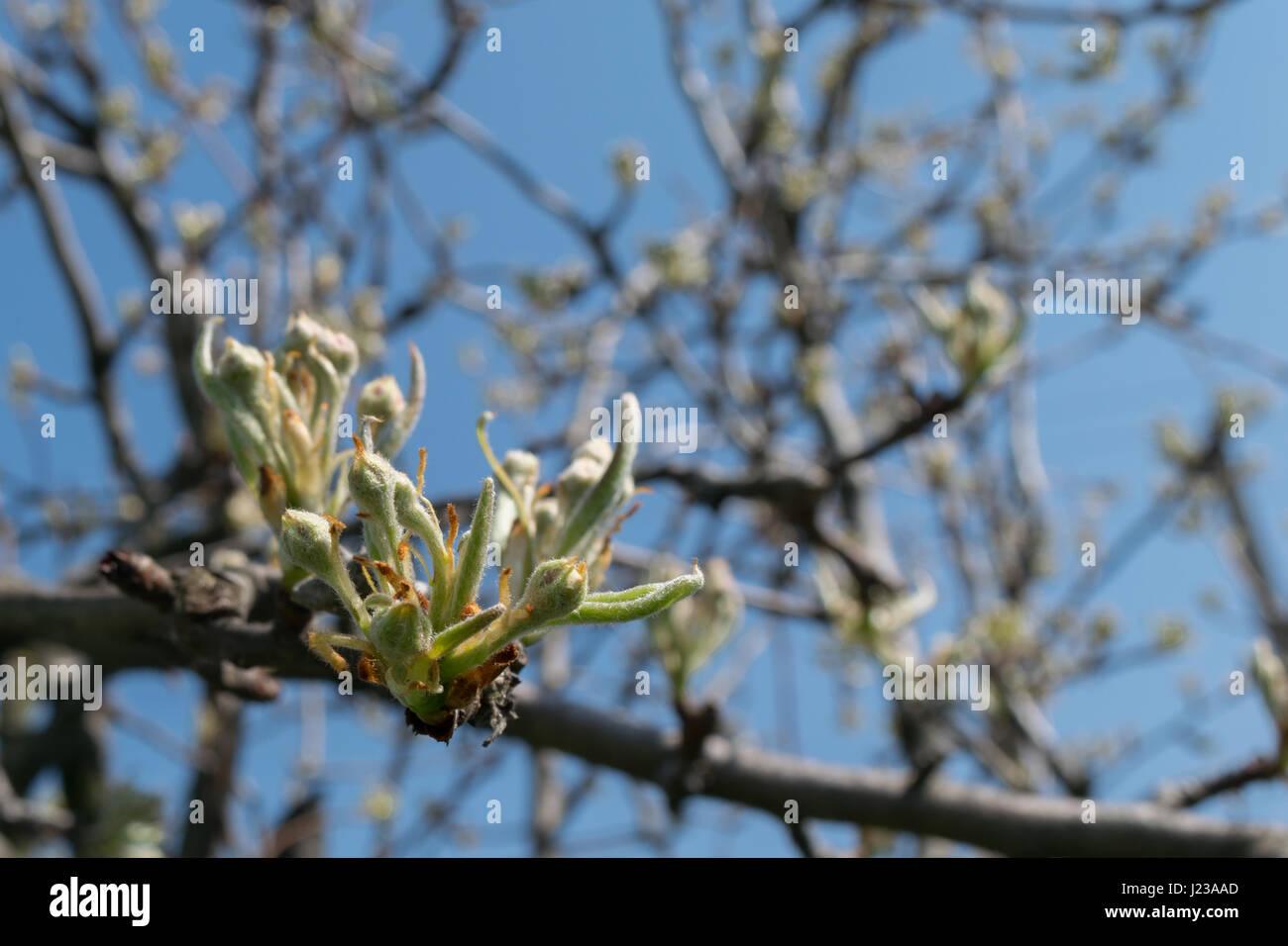 Nahaufnahme von Quitte Baum im Frühling Stockbild