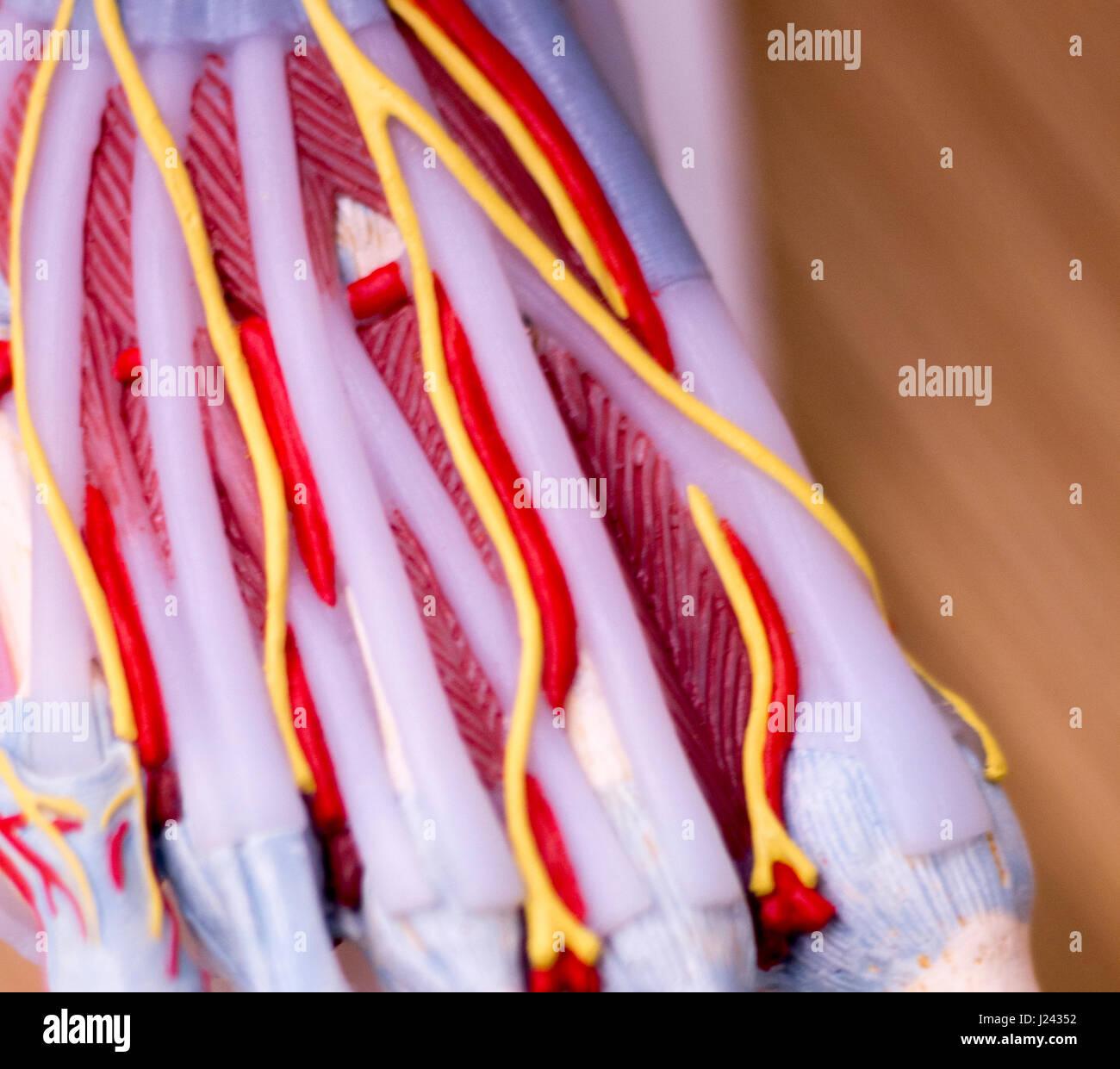 Fuß-medizinische Studie Student Anatomie Modell zeigt Knochen, Zehen ...