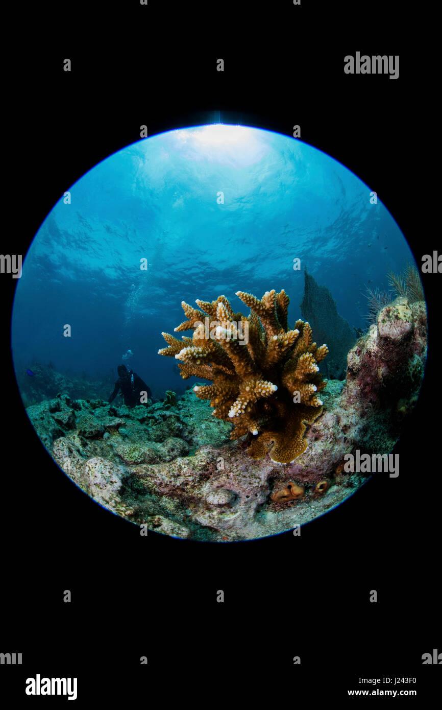 Riff-Szene mit Hirschhorn Korallen. Stockfoto