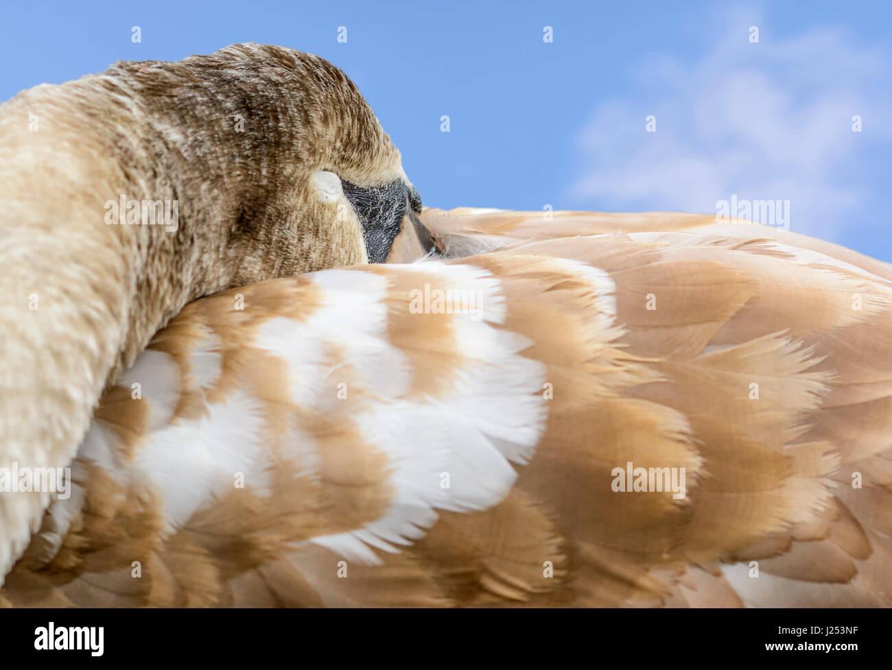 Weiße Höckerschwan Cygnet (Cygnus Olor) mit seinen geschlossenen Augen, einen Schlaf. Schlafende Konzept. Stockbild