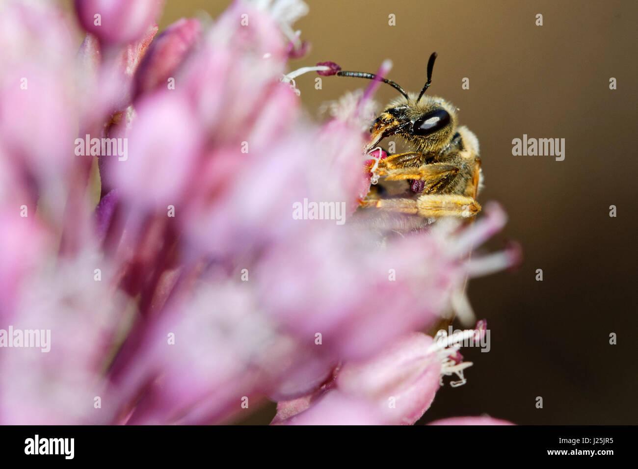 Biene auf einer Zwiebel Blume, Insel Hvar, Kroatien Stockbild