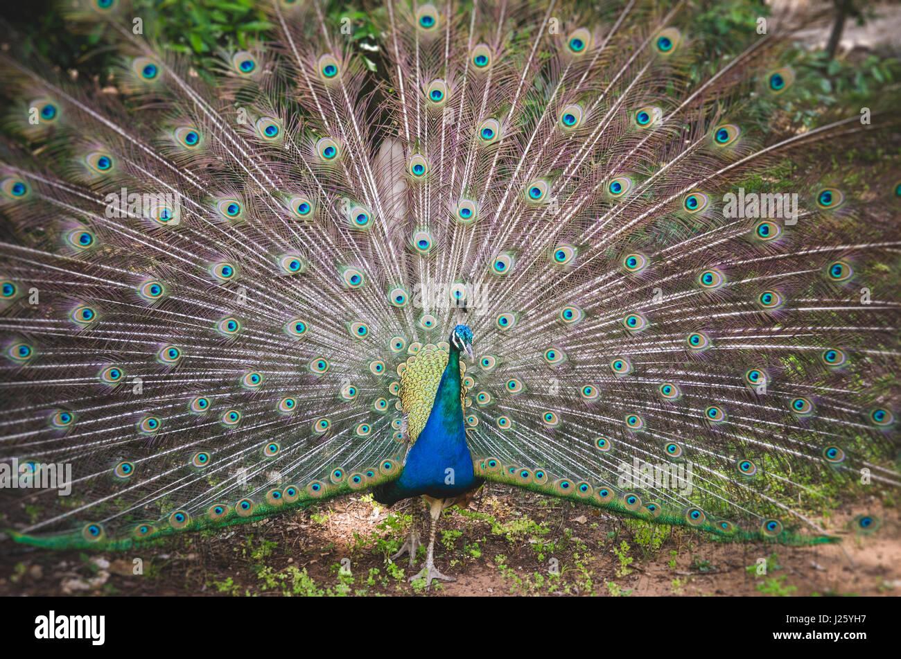 Peacock zeigt Schwanzfedern, Lokrum Botanischer Garten, Kroatien Stockbild