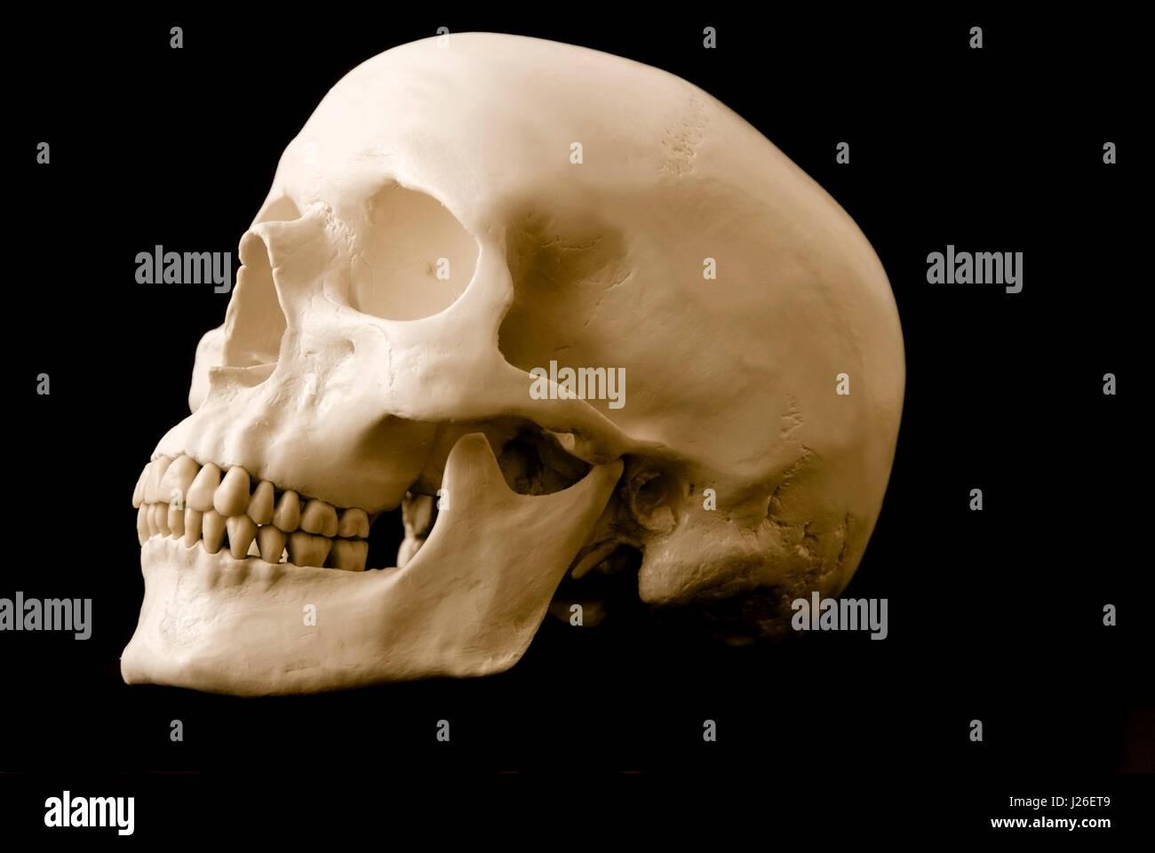 menschlicher Schädel, isoliert Stockbild