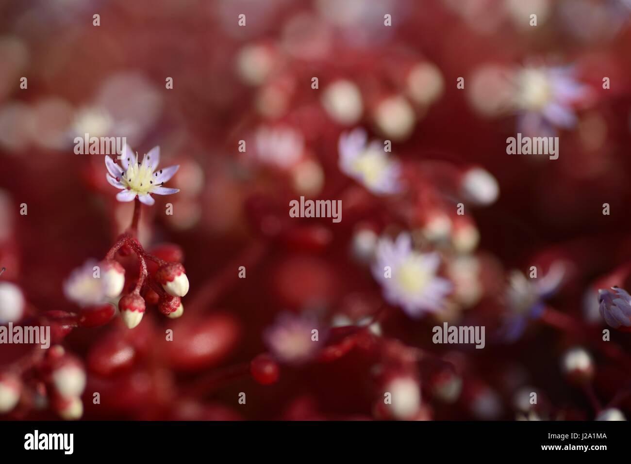 Blühende Sedum Caeruleum mit tiefroten Blättern und Licht blaue Blumen Stockbild