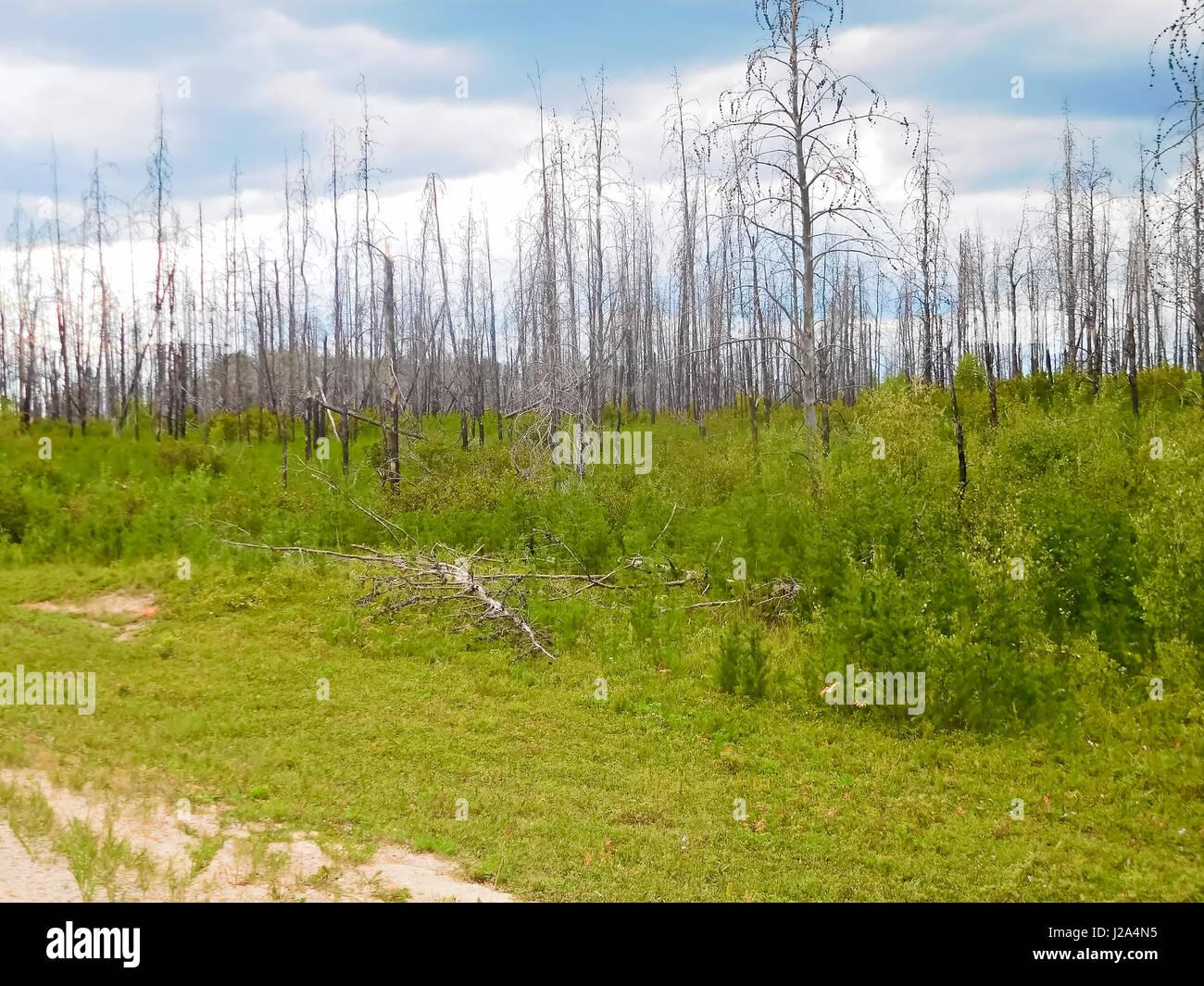 Nachwachsen der Baum nach einem Waldbrand. Stockbild