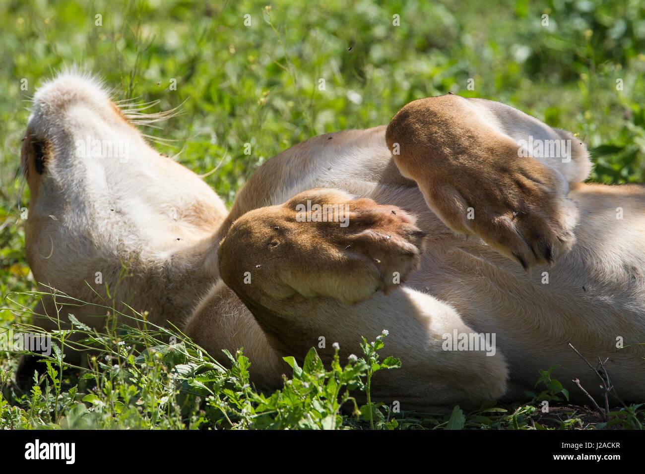 Löwin, liegend auf dem Rücken, Kopf zurückgelehnt, Oberkörper gezeigt, Pfoten Krause in Luft Stockbild
