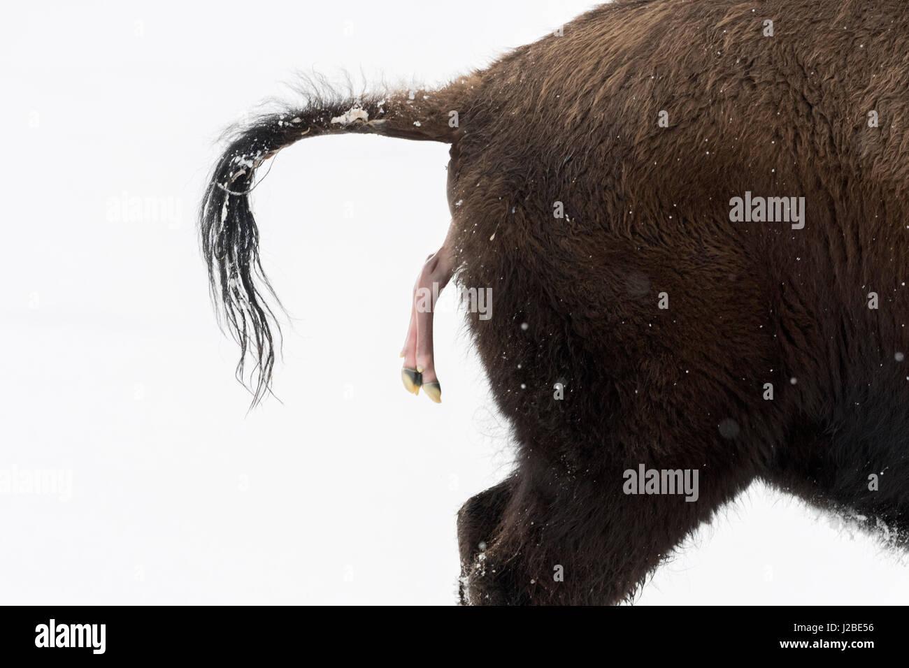 Amerikanischer Bison / Amerikanischer Bison (Bison Bison) gebiert ein Kalb in Winter, abortive Geburt im Schnee, Stockbild