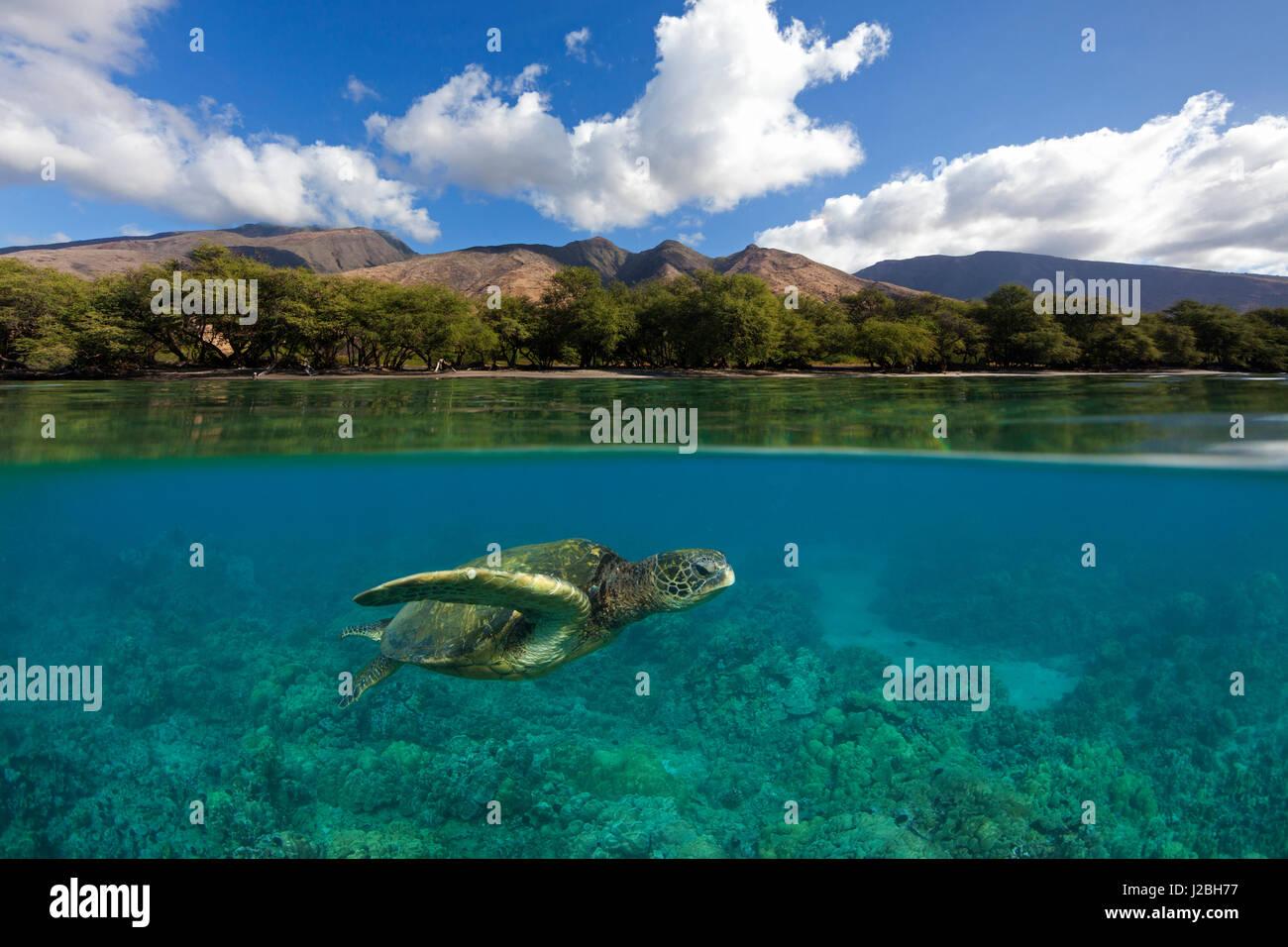 Grüne Meeresschildkröte schwimmt über Korallen bei Olowalu, Maui mit den West Maui Bergen in der Stockbild
