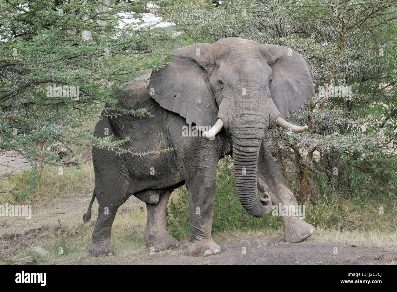 Afrikanischer Elefant (Loxodonta Africana) zwischen Acaciatree, Blick in die Kamera, Serengeti Nationalpark, Tansania. Stockbild